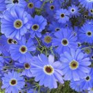 SWAN RIVER DAISY BLUE SPLENDOUR 300 Seeds