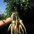 PARSLEY HAMBURG ROOTED 100 Seeds