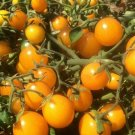 TOMATO Gold Nugget 15 Seeds