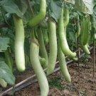 Eggplant LOUISIANA 15 Seeds