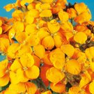 WALLFLOWER Cloth of Gold YELLOW 65 Seeds