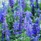 SALVIA BLUE BEDDER 60 Seeds