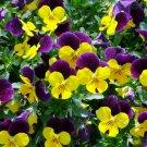 PANSY Viola Bambini Mixed 60 Seeds