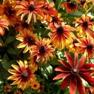RUDBECKIA AUTUMN COLOURS 10 Seeds