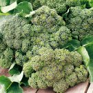 BROCCOLI Calabrese EARLY 50 Seeds