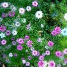 NIGELLA Love in a Mist 65 Seeds