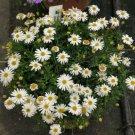 SWAN RIVER DAISY WHITE Splendour 300 Seeds