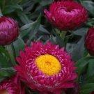 EVERLASTING DAISY BRIGHT ROSE 150 Seeds