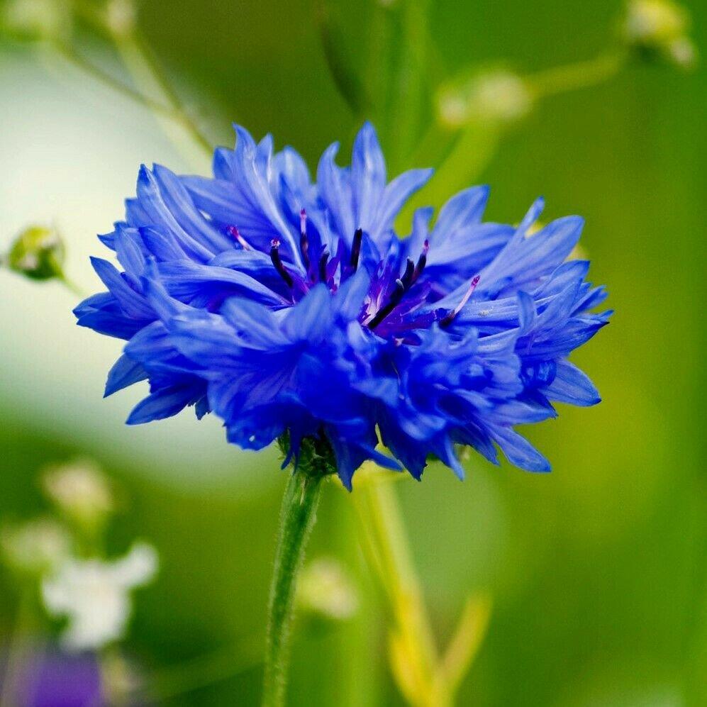 CORNFLOWER Blue Boy 80 Seeds