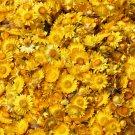 EVERLASTING DAISY GOLDEN YELLOW 120 Seeds