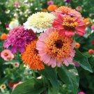 ZINNIA Scabiosa Flowered Mix 50 Seeds