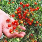 TOMATO 'Red Currant' 10 Seeds