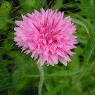 CORNFLOWER PINK 80 Seeds