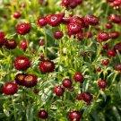 EVERLASTING DAISY PURPLE RED 120 Seeds