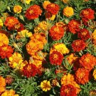 MARIGOLD Sparky Mixed 50 Seeds