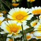 GARLAND DAISY Double Flowered Mix 100 Seeds