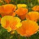 CALIFORNIAN POPPY Aurantiaca Orange 350 Seeds