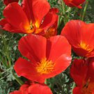 CALIFORNIAN POPPY Red Chief 350 Seeds