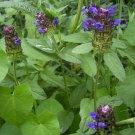 SELF HEAL 'Prunella' 25 RARE seeds