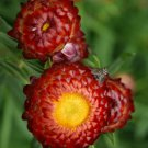 EVERLASTING DAISY COPPER RED 120 Seeds