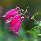 SUNBURST PENSTEMON MEXICALI PERENNIAL FLOWER 30 SEEDS