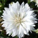 CENTAUREA SNOWMAN BACHELOR'S BUTTON CORNFLOWER FLOWER 35 SEED