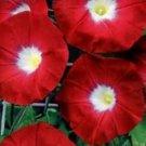 CRIMSON RAMBLER MORNING GLORY FLOWER 35 SEEDS