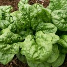 SPINACH Bloomsdale LONG STANDING 50 Seeds