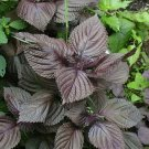 SHISO JAPANESE Red ~ Purple PERILLA ~ 100 Seeds ~