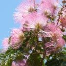 Light Pink Mimosa Tree 5 Seeds