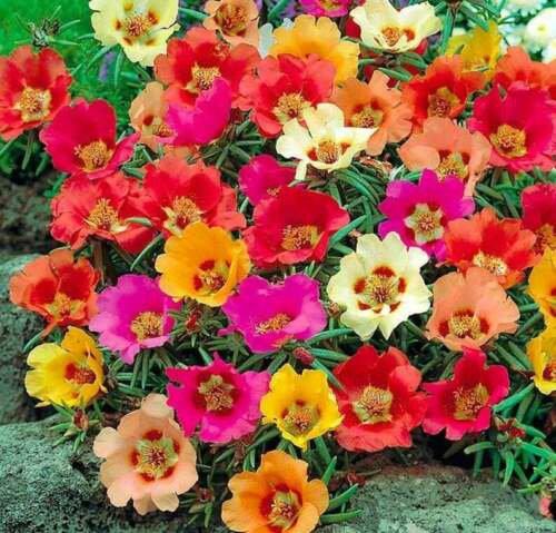 Bright Mix Moss Rose Seeds Flower Perennial Flowers 100 Seed