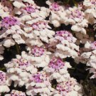 White Pink Candytuft 50 Seeds