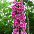 Pink Foxglove 50  Seeds