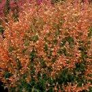 Orange Hyssop 100 Seeds
