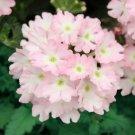 Light Pink Verbena 50 Seeds