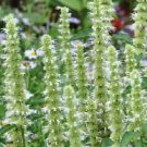 Giant White Hyssop 100 Seeds