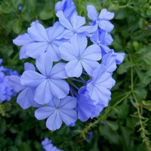 Light Blue Verbena Flower 50 Seeds