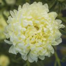 Double White Aster Flower 50 Seeds