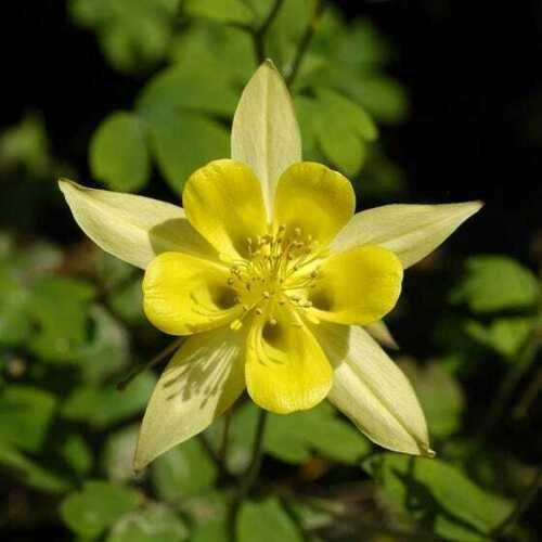 Yellow Columbine 50 Seeds