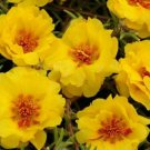 Double Yellow Moss Rose 100 Seeds
