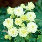 Double White Columbine 50 Seeds