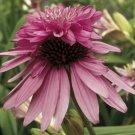 Double Light Pink Coneflower 50 Seeds
