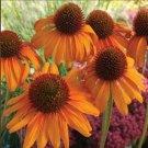 Bright Orange Coneflower 50 Seeds