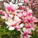 Light Pink White Magnolia 5 Seeds