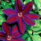 Purple Red Clematis 25 Seeds