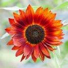 Orange Sunflower 25 Seeds