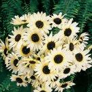Italian White Sunflower 25 Seeds