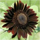 Chocolate Sunflower 25 Seeds