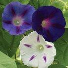 Celestial Mix Morning Glory 20 Seeds