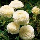 Cream Persian Buttercup 25 Seeds